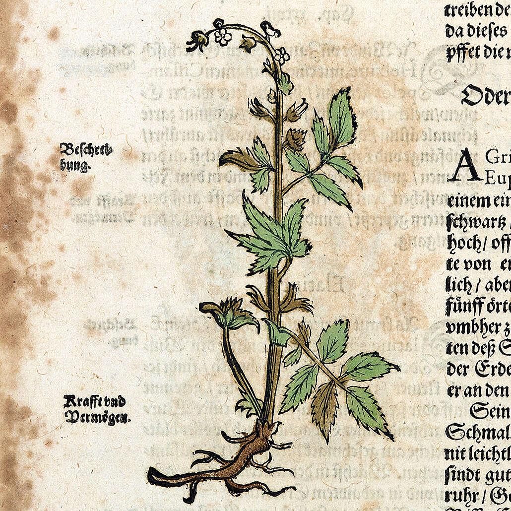 Verbascum sp. und Agrimonia sp.</span><span>